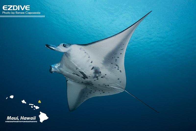 A manta ray swims near the surface in Maui, Hawaii at Honolua Bay