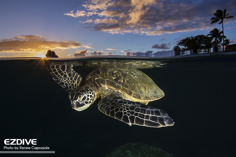 "Green sea turtle- Chelonia mydas - at sunset gliding through the water in Maui, Hawaii.  These turtles are classified as ""Endangered"" by the IUCN Redlist."